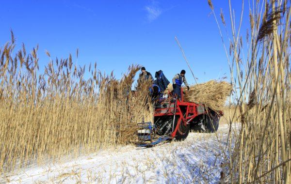 Заготовка тростника предприятием «ЭкоДомСтрой» на оз.Нарочь